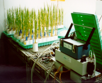 Root-shoot communication in rice subjected to drought