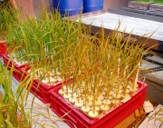 Effects of root zone bacteria on iron toxicitiy symptoms in rice